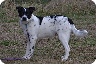 Blue Heeler Mix Puppy for adoption in Lebanon, Missouri - Jake