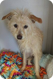 Terrier (Unknown Type, Small) Mix Dog for adoption in Apache Junction, Arizona - Heidi