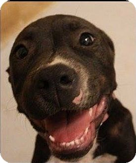 American Pit Bull Terrier/Mixed Breed (Medium) Mix Dog for adoption in Weatherford, Texas - Daisy