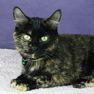 Domestic Shorthair Cat for adoption in Columbia, Illinois - Tunsi