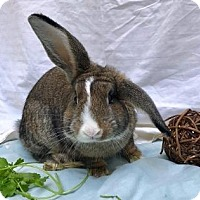 Adopt A Pet :: Bert - Woburn, MA