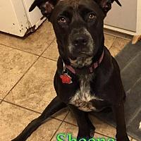 Adopt A Pet :: Sheena - Pensacola, FL