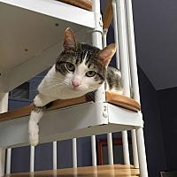 Adopt A Pet :: Lulu/ plays fetch with cat toy - Bryn Mawr, PA