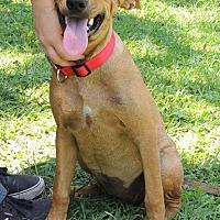 Adopt A Pet :: Red Velvet - Joplin, MO