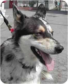 Australian Shepherd/Husky Mix Dog for adoption in El Segundo, California - Heidi