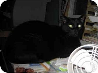 Domestic Shorthair Cat for adoption in Sheboygan, Wisconsin - Ollie
