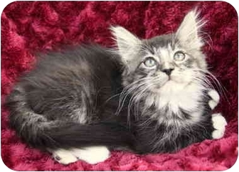 Maine Coon Kitten for adoption in Newport Beach, California - JILL