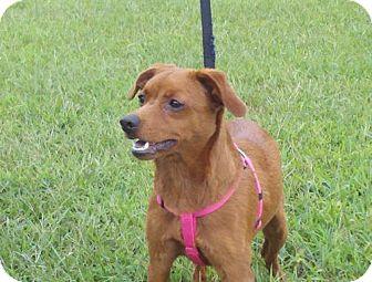 Miniature Pinscher Mix Dog for adoption in Portland, Maine - Kiki (reduced to $325)