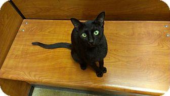 Bombay Cat for adoption in Lexington, Kentucky - Mufosa