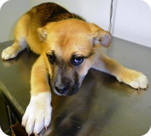 Husky/Labrador Retriever Mix Puppy for adoption in Lincolnton, North Carolina - 19053936