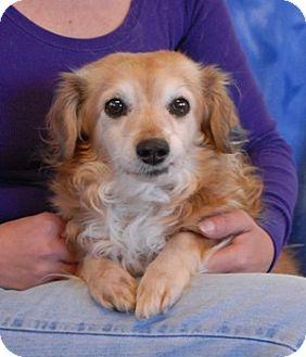Dachshund Mix Dog for adoption in Las Vegas, Nevada - Colleen