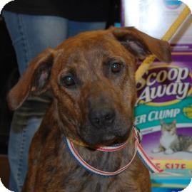 Black Mouth Cur Mix Dog for adoption in Brooklyn, New York - Ebony