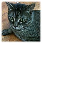 Domestic Shorthair Cat for adoption in New York, New York - Oscar