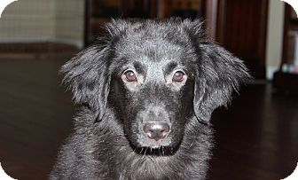 Flat-Coated Retriever Mix Puppy for adoption in Naperville, Illinois - Lancelot