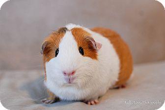 Guinea Pig for adoption in Manhattan, Kansas - Winnifred