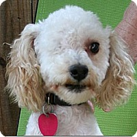 Adopt A Pet :: Joey - New Milford, CT