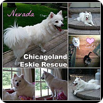 American Eskimo Dog Dog for adoption in Elmhurst, Illinois - Nevada