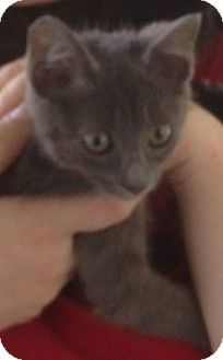 Domestic Shorthair Kitten for adoption in Columbia, South Carolina - Mable