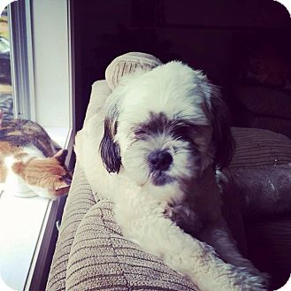 Pekingese/Shih Tzu Mix Puppy for adoption in Sagaponack, New York - Yoda