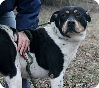 Rottweiler Mix Dog for adoption in Conway, New Hampshire - Xander