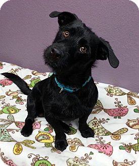 Scottie, Scottish Terrier/Dachshund Mix Dog for adoption in Lisbon, Ohio - Midnight