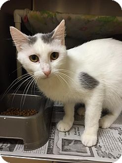Domestic Shorthair Cat for adoption in Maryville, Missouri - Spice