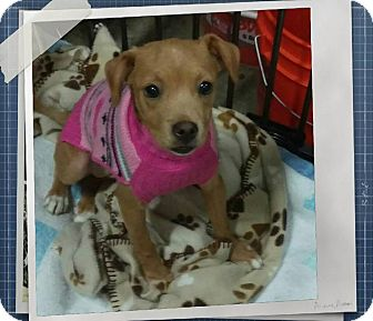 Beagle Mix Puppy for adoption in Apache Junction, Arizona - Jezebelle