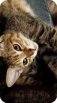 Calico Kitten for adoption in Wichita Falls, Texas - Sweet Pea