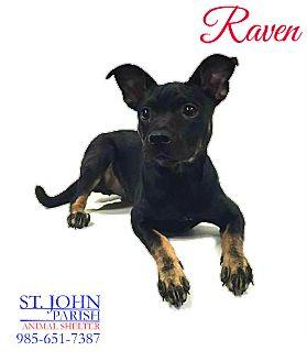 Boston Terrier/Rat Terrier Mix Dog for adoption in Laplace, Louisiana - Raven