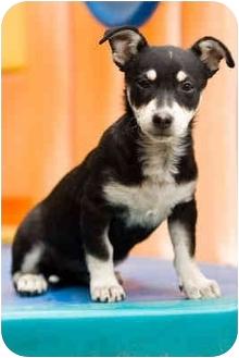 Corgi Mix Puppy for adoption in Portland, Oregon - Buttons