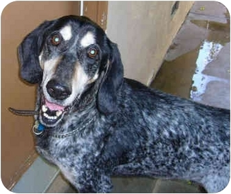 Bluetick Coonhound Mix Dog for adoption in Marina del Rey, California - Alf