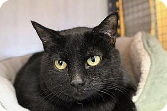 Domestic Shorthair Cat for adoption in West Des Moines, Iowa - Eden