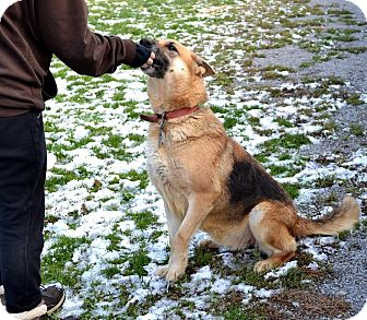 German Shepherd Dog Dog for adoption in Indiana, Pennsylvania - MILEY