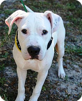 American Bulldog/Great Dane Mix Puppy for adoption in Ft. Myers, Florida - Ghost
