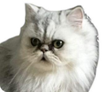 Persian Cat for adoption in Davis, California - Pretty Girl