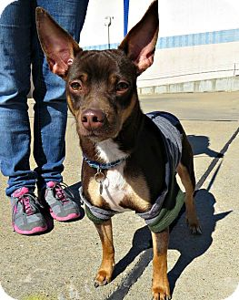 Miniature Pinscher Mix Dog for adoption in McKinney, Texas - Wayne