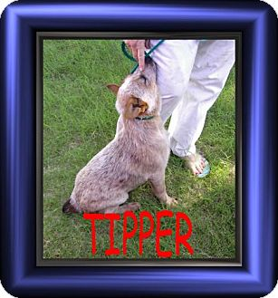 Australian Cattle Dog Mix Dog for adoption in Cushing, Oklahoma - x TIPPER adopted