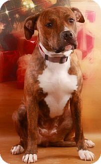 Pit Bull Terrier Dog for adoption in Pegram, Tennessee - Cho