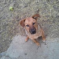 German Shepherd Dog/Labrador Retriever Mix Dog for adoption in Whitney, Texas - Ringo
