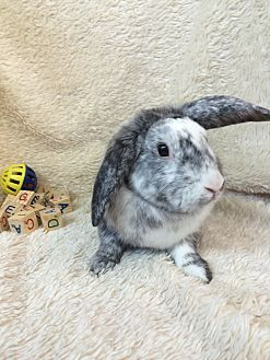 Lop-Eared Mix for adoption in Paramount, California - Spike