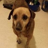 Adopt A Pet :: Scooby - Fresno, CA