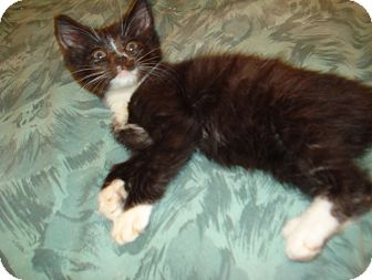 Domestic Shorthair Kitten for adoption in Woodstock, Ontario - Patty