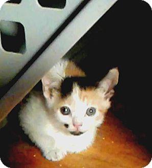 Calico Kitten for adoption in New York, New York - Tabitha