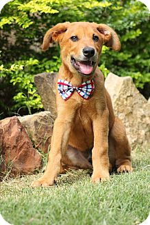 Hound (Unknown Type)/Terrier (Unknown Type, Medium) Mix Puppy for adoption in Gorham, Maine - Westen