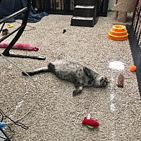 Adopt A Pet :: Cat Cora - Burbank, CA