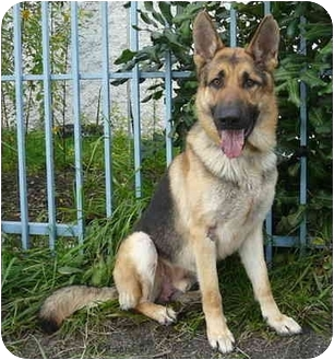 German Shepherd Dog Dog for adoption in Los Angeles, California - Dodger von Dillenburg