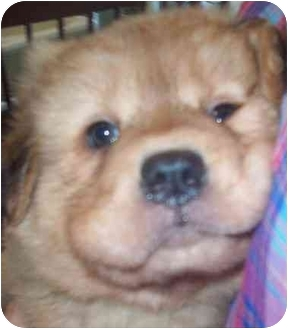 Golden Retriever/Shar Pei Mix Puppy for adoption in Chapel Hill, North Carolina - Biscuit