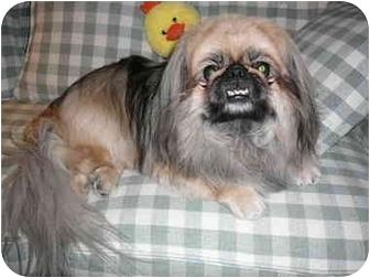 Pekingese/Pekingese Mix Dog for adoption in Mesa, Arizona - Peek-A-Boo
