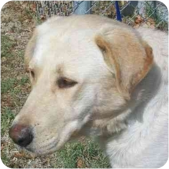 Labrador Retriever Dog for adoption in San Diego, California - REDFORD