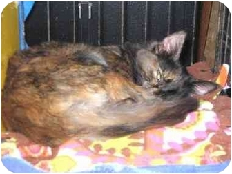 Domestic Shorthair Cat for adoption in Westfield, Massachusetts - Astrid